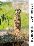 Meerkat Lookout On A Tree Trunk