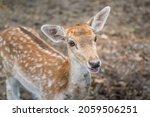 A Cute Young Deer Or Antelope...