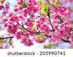sakura flower  thailand  | Shutterstock . vector #205990741