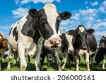 Cows In A Field With A  Blue Sky