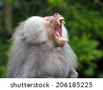 A Male Baboon Is Showing His...