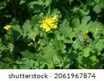 Closeup Of Yellow Flowers Of...