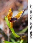 Small photo of Orchid Maxillaria cucullata in Parque Nacional Celaque near Gracias, Honduras, Central America
