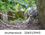Tiger Cub Playing Around ...