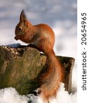 red squirrel on tree stump in winter forest - stock photo
