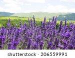 lavender field   Shutterstock . vector #206559991