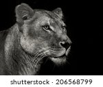 An Female Africa Lion Portrait...