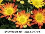 colorful chrysanthemum flowers