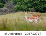 Fallow Deer Standing In The...