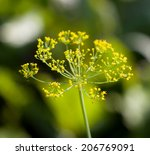 Dill Flowers In Nature. Macro