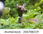 yakushima deer   Shutterstock . vector #206788219
