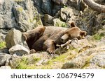 Ursus Arctos  Or The Brown Bea...