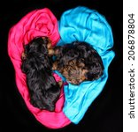 Two Yorkshire Terrier Puppies...