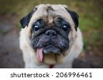 little sad pug sitting on the... | Shutterstock . vector #206996461