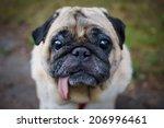 little sad pug sitting on the...   Shutterstock . vector #206996461