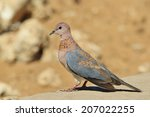 Laughing Dove   African Wild...