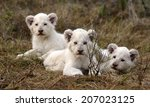 Three New Born White Lion Cubs...