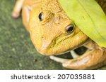 close up frog under green leaf   Shutterstock . vector #207035881