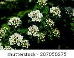 Shrub  White Flowers  White...