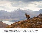 Wild Stag Overlooking Loch...