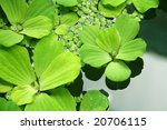 Floating plants in a pond - stock photo