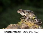 european common frog on mossy... | Shutterstock . vector #207143767