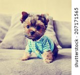 A Cute Yorkie In A Shirt Toned...