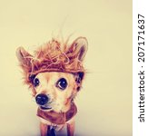 Stock photo a tiny chihuahua in a lion costume toned with a retro vintage instagram filter 207171637