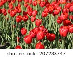 red tulips | Shutterstock . vector #207238747