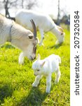 Two Goats And Baby Goat In...