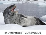 Leopard Seal Lying On The Ice...