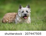 adult purebred dog outdoors on... | Shutterstock . vector #207447505