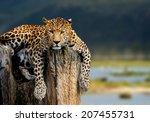 Leopard Sitting On A Tree On...