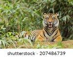 tiger in tall grass  | Shutterstock . vector #207486739