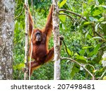 Female Borneo Orangutan At The...