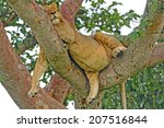 Young Male Lion Resting In A...