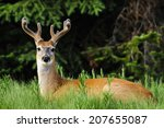 White Tailed Deer In Summer ...