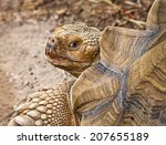 The African Spurred Tortoise I...