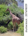 Small photo of Giraffe in a shroud in wild habitat