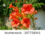 Red Trumpet Flowers