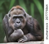 Portrait Of Gorilla Female On...
