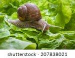 Slug Eating Lettuce Leaf. Snail ...