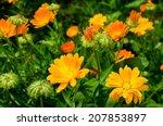 Pot Marigold  Calendula...