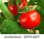 Red Tomatoes In The Garden....