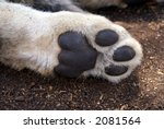 Lion Cub Paw Closeup