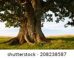 Grand Oak In Urvaste  Estonia