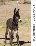 A Young Donkey Foal Stands In...