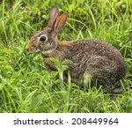 A Eastern Cotton Tail Rabbit...