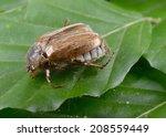 chafer  rhizotrogus marginipes  ... | Shutterstock . vector #208559449