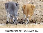 Two Kangaroos Drinking